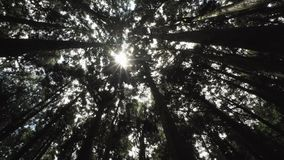 Cypress Tree Crowns with Sun Shining Through Forest in Alishan Scenic Area, Taiwan