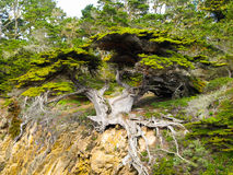 Cypress tree detailed view Royalty Free Stock Images
