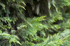 Branch of cypress tree closeup. Green background royalty free stock image