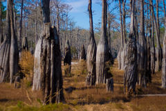 Cypress tree grove. In dry lake bed Royalty Free Stock Images