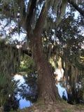 Cypress tree Royalty Free Stock Photos