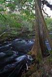 Cypress Tree, Hillsborough River Stock Photography