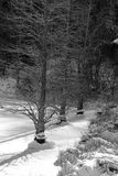Cypress tree on ice Royalty Free Stock Photos