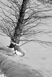 Cypress tree on ice Royalty Free Stock Photography