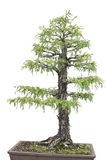 Cypress Tree isiolated over white Royalty Free Stock Photography