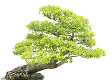 Cypress Tree isiolated over white Royalty Free Stock Images