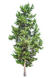 Cypress tree isolated. Old cypress tree isolated over white background royalty free stock photo