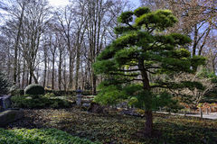 Cypress tree in Japanese garden landscape Royalty Free Stock Photos