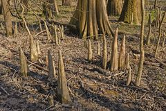 Cypress Tree Knees in the Forest Royalty Free Stock Photos