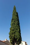 Cypress tree Royalty Free Stock Image