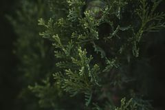Cypress tree leaves texture and background. Close up view of cypress green leaves Stock Images