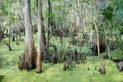 Cypress tree in Lettuce lake. Taken in Tampa, florida royalty free stock photos
