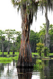 Cypress tree. After a lightning strike in the atchafalaya basin stock photography