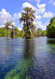 Cypress Tree in Natural Spring. This is a picture of the Wakulla Springs National Park in Northern Florida. This is the largest Natural Spring in the world and royalty free stock photos
