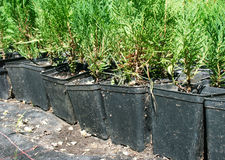 Cypress tree nursery Stock Photos