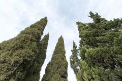 Cypress tree Royalty Free Stock Photography