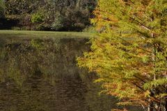 Cypress tree by a pond Royalty Free Stock Photos