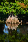 Cypress tree reflection Stock Photos