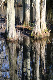 Cypress Tree Reflection on Black Water Stock Photos