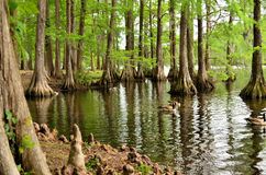 Cypress Tree Reflection, Cypress Tree Knee. Reflections of Cypress trees into the water with cypress tree knees visible along the tree trunks and along the bank royalty free stock photography