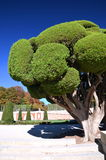 Cypress tree in Retiro Park in Madrid, Spain Royalty Free Stock Photography