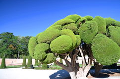 Cypress tree in Retiro Park in Madrid, Spain Stock Photography