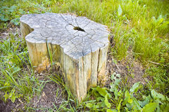 Cypress tree's stump in the nature Stock Photography