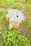 Cypress tree`s stump in the nature - image with copy space Royalty Free Stock Photo