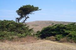 Cypress Tree and Shrubs at Bodega Royalty Free Stock Photos