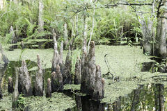 Cypress Tree Stump Close-Up Royalty Free Stock Image