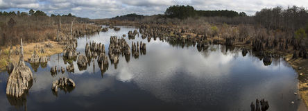 Cypress Tree Stumps - Chipola River Panoramic Stock Photo