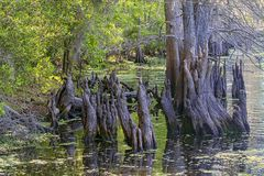 Cypress Tree Stumps. Along a river royalty free stock photo