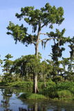 Cypress Tree in Swamp. Closeup of a Cypress Tree in the Louisiana swamp with a light blue sky royalty free stock photos