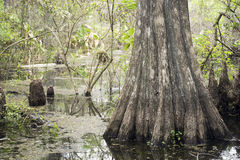 Cypress Tree On Swamp At Slough Preserve Royalty Free Stock Photos