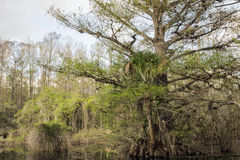 Cypress Tree On Swamp At Slough Preserve Royalty Free Stock Photo