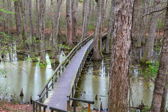 Cypress tree swamp Royalty Free Stock Image