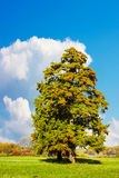 Cypress Tree Royalty Free Stock Photos