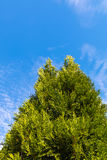 Cypress tree tops against bright blue sky Stock Photography