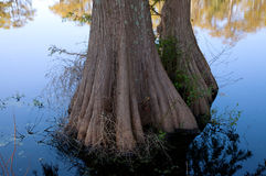 Cypress tree trunks, on a mill pond Royalty Free Stock Images