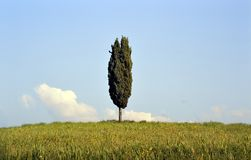 Cypress tree in Tuscany Royalty Free Stock Photos