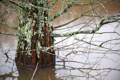 Cypress tree in water Royalty Free Stock Image
