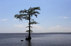Cypress Tree in waterscape. A cypress tree standing in shallow calm waters of the Albemarle sound Stock Image