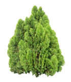 Cypress tree. Young cypress tree isolated on white background Stock Image