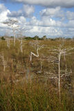 Cypress Trees. In the Glades, Everglades National Park Stock Photos
