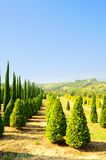 Cypress Trees Stock Photos