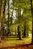 Cypress Trees stock photo