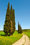 Cypress Trees Royalty Free Stock Image