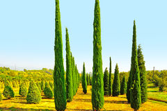 Cypress Trees Royaltyfri Bild