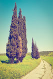 Cypress Trees Royalty Free Stock Photo
