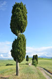 Cypress trees along rural road Stock Photography